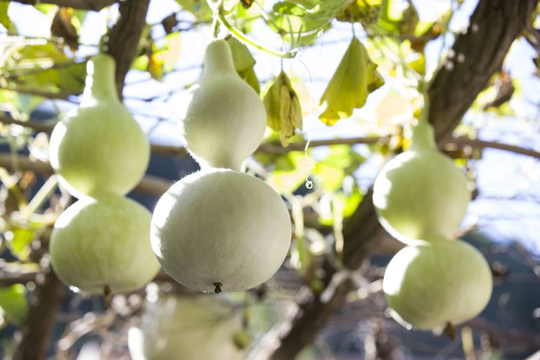 bottle gourd domestication and history