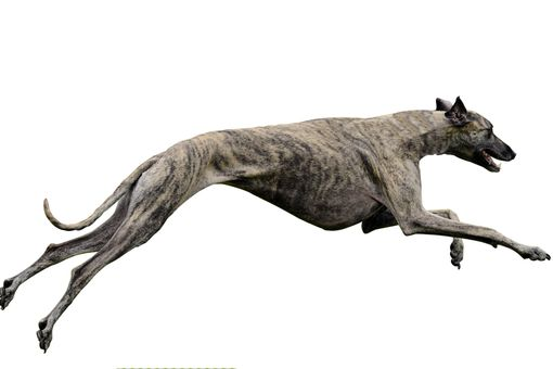 The greyhound is able to run up to 45 mph, making it the world's fastest dog.