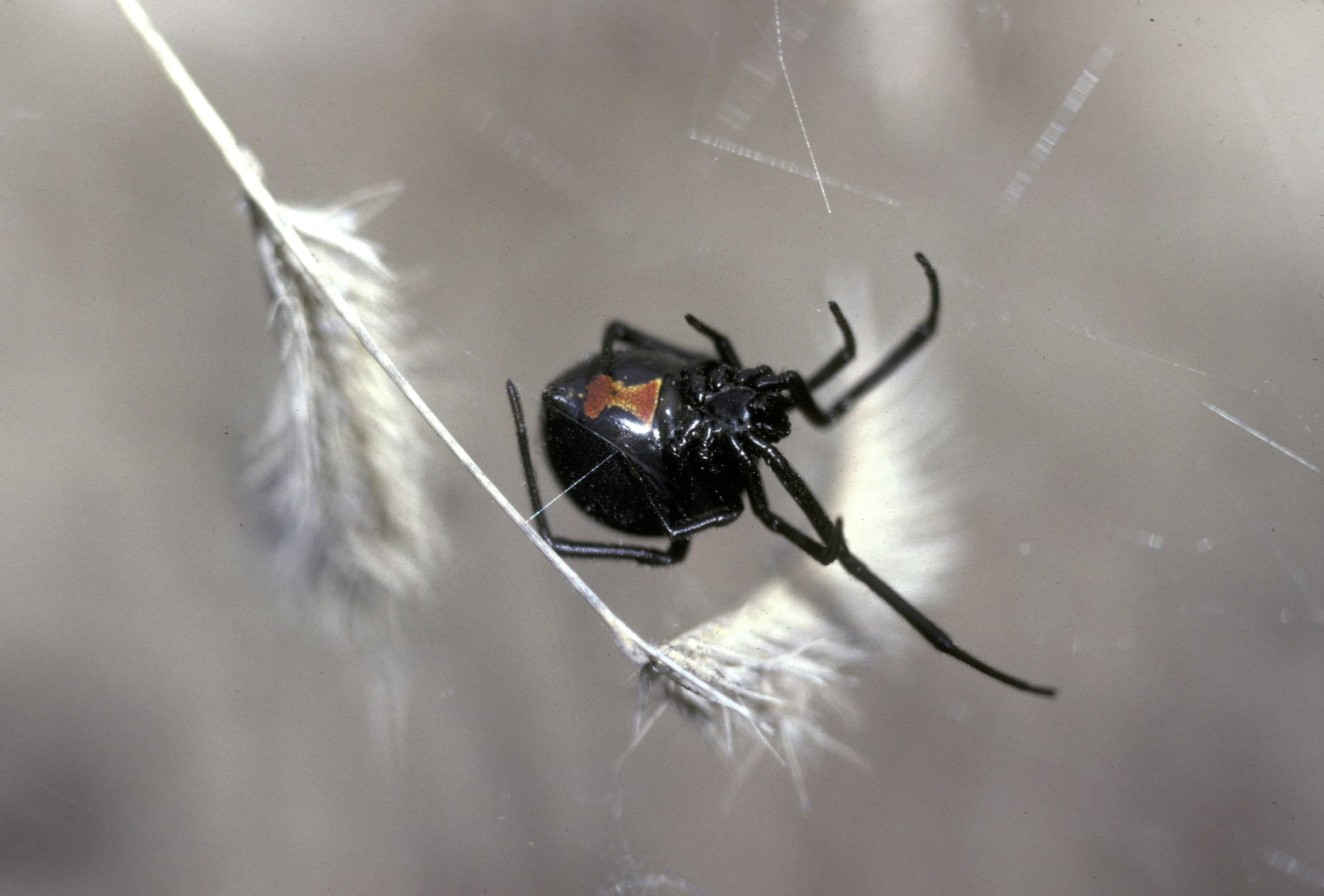 are black widow spiders deadly - HD2105×1425