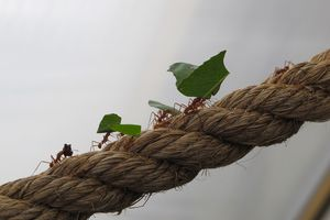Leaf Cutter Ants walking on a rope