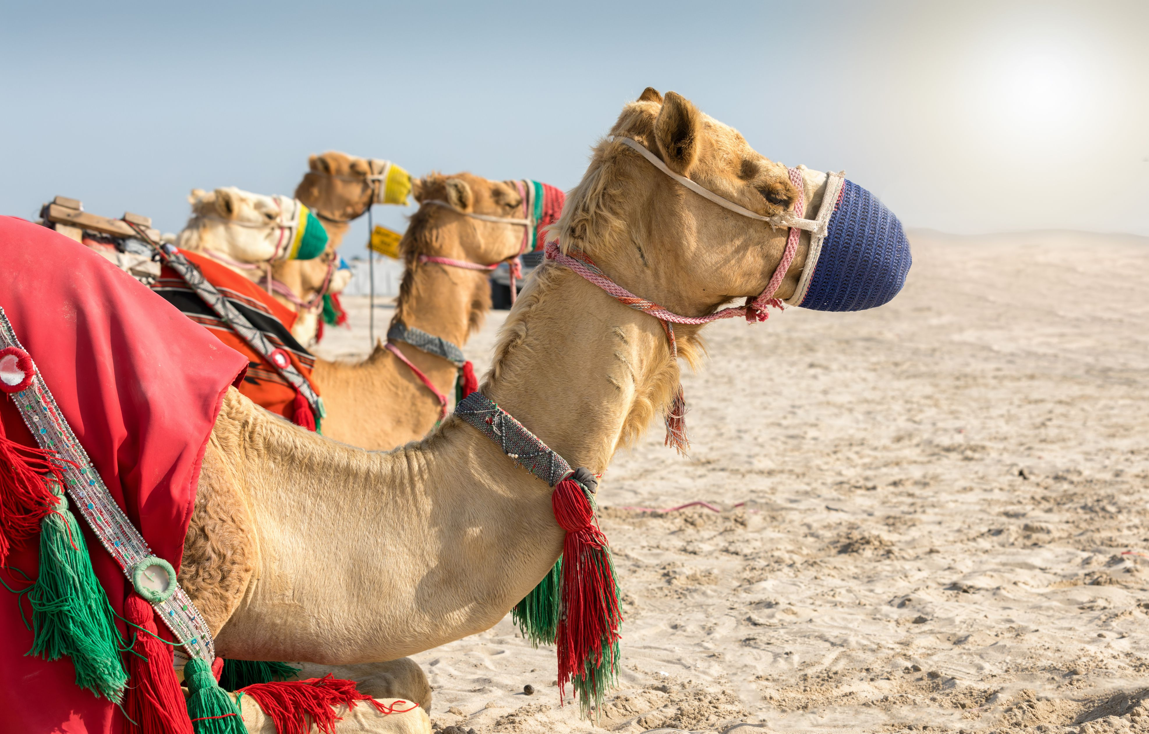 Side View of Camels in Desert.