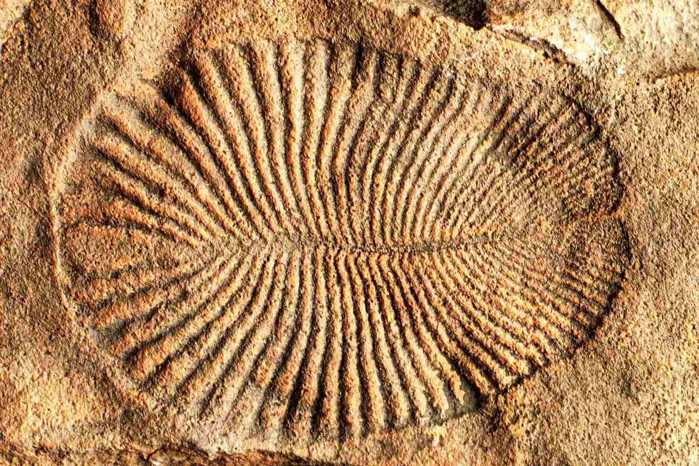 Fossil of Dickinsonia costar