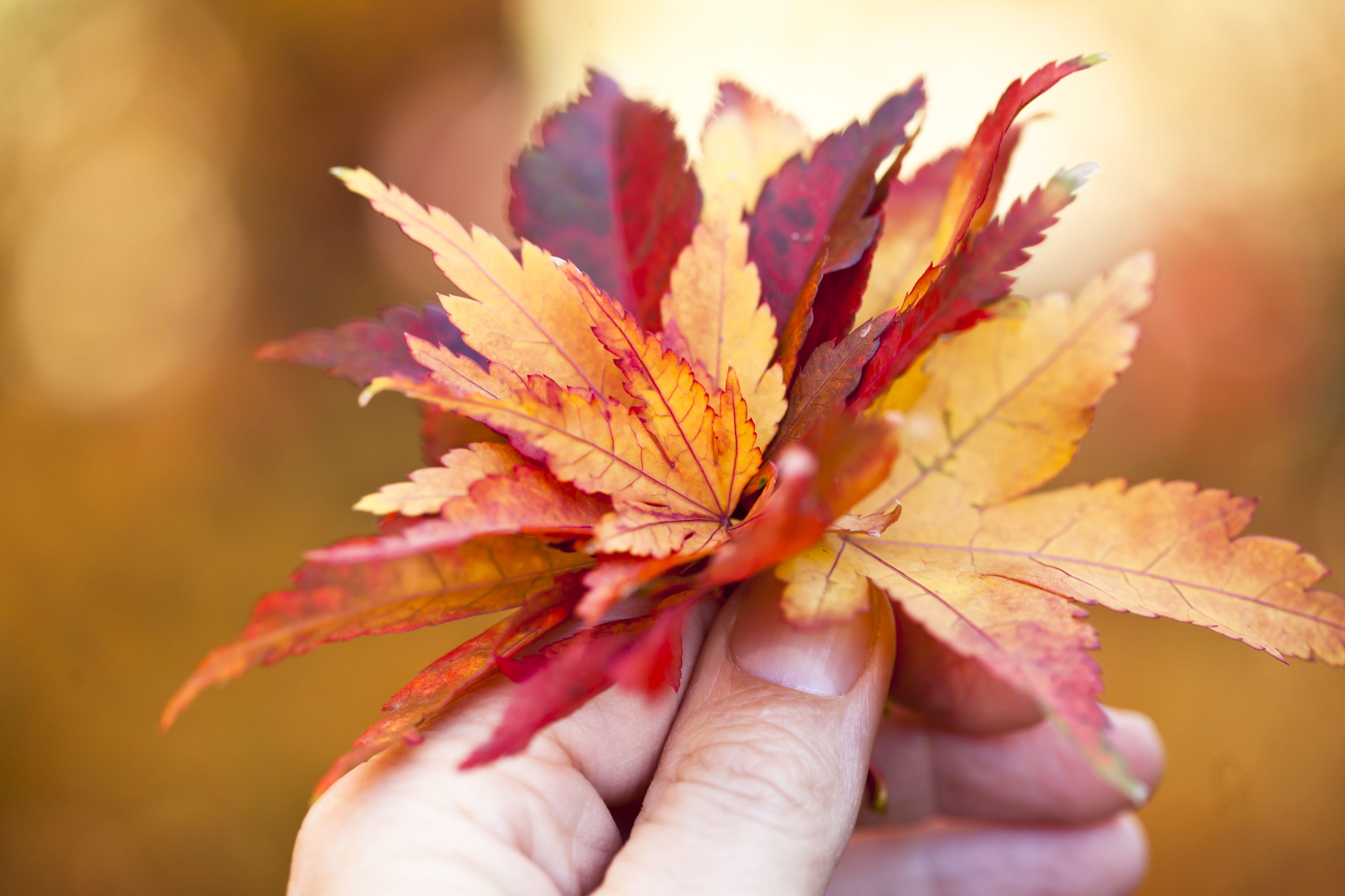 Cuando la producción de clorofila disminuye, otros pigmentos de las hojas se vuelven visibles.