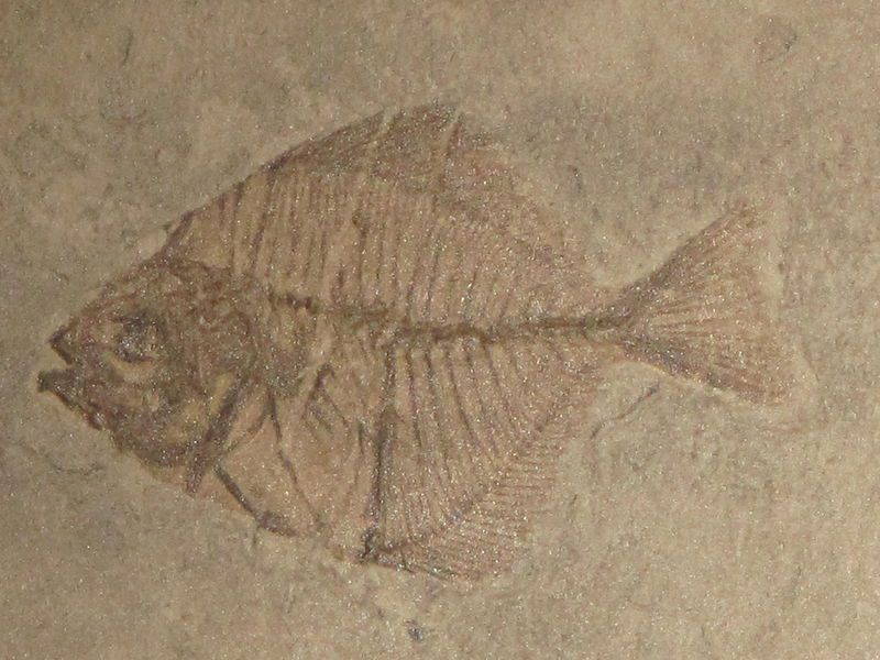 Pasaichthys fossil from the Tertiary Period
