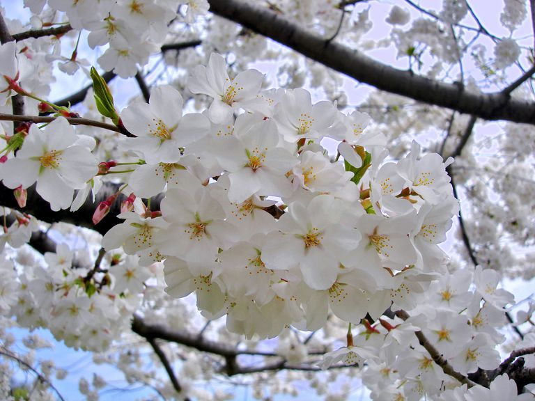 yoshino cherry tree flowers