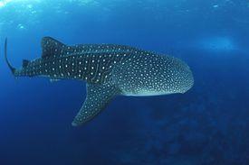 Whale Shark Whale Shark, Rhincodon typus