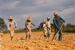 African-American sharecroppers working in the field.