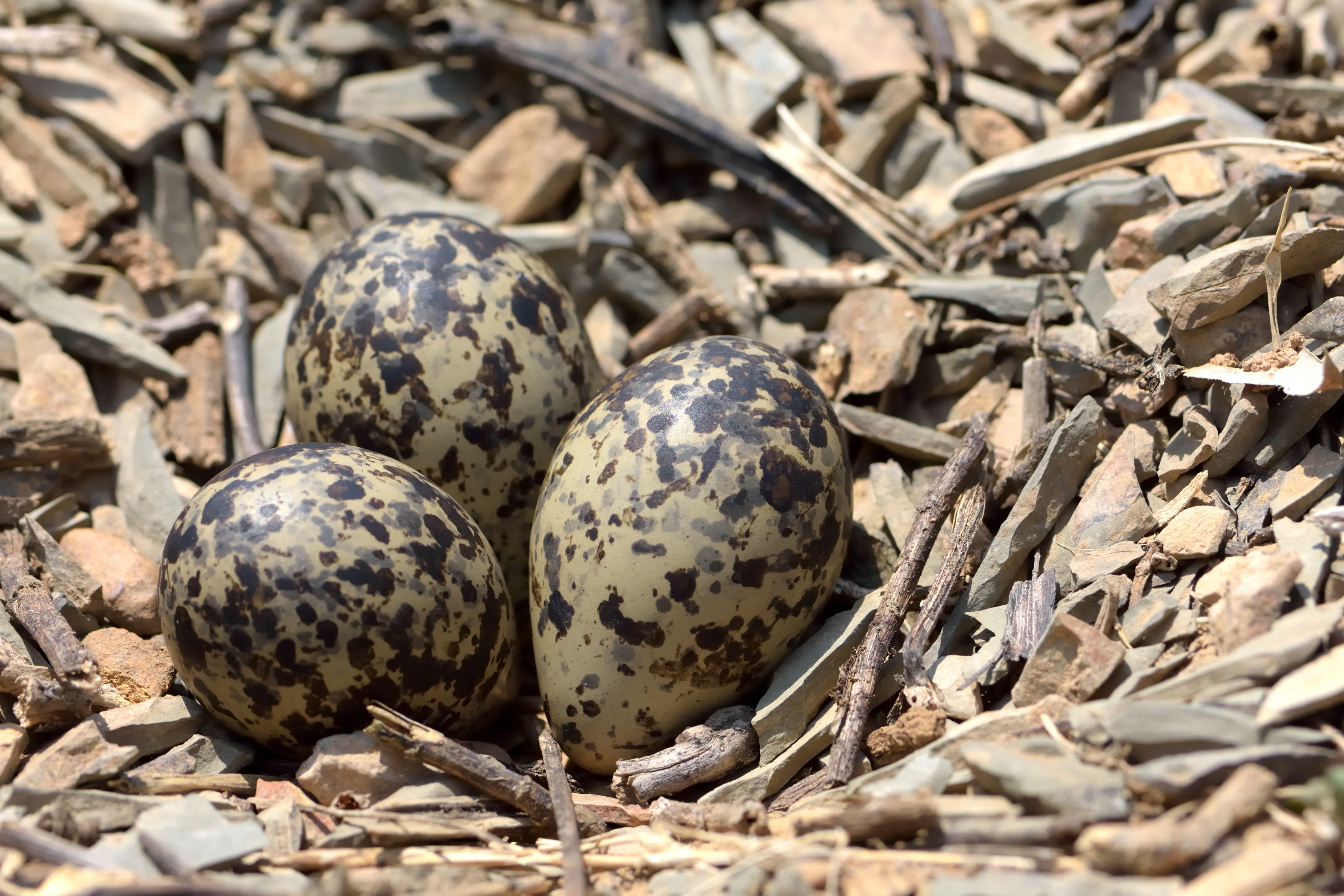 Dinosaur eggs on the rock