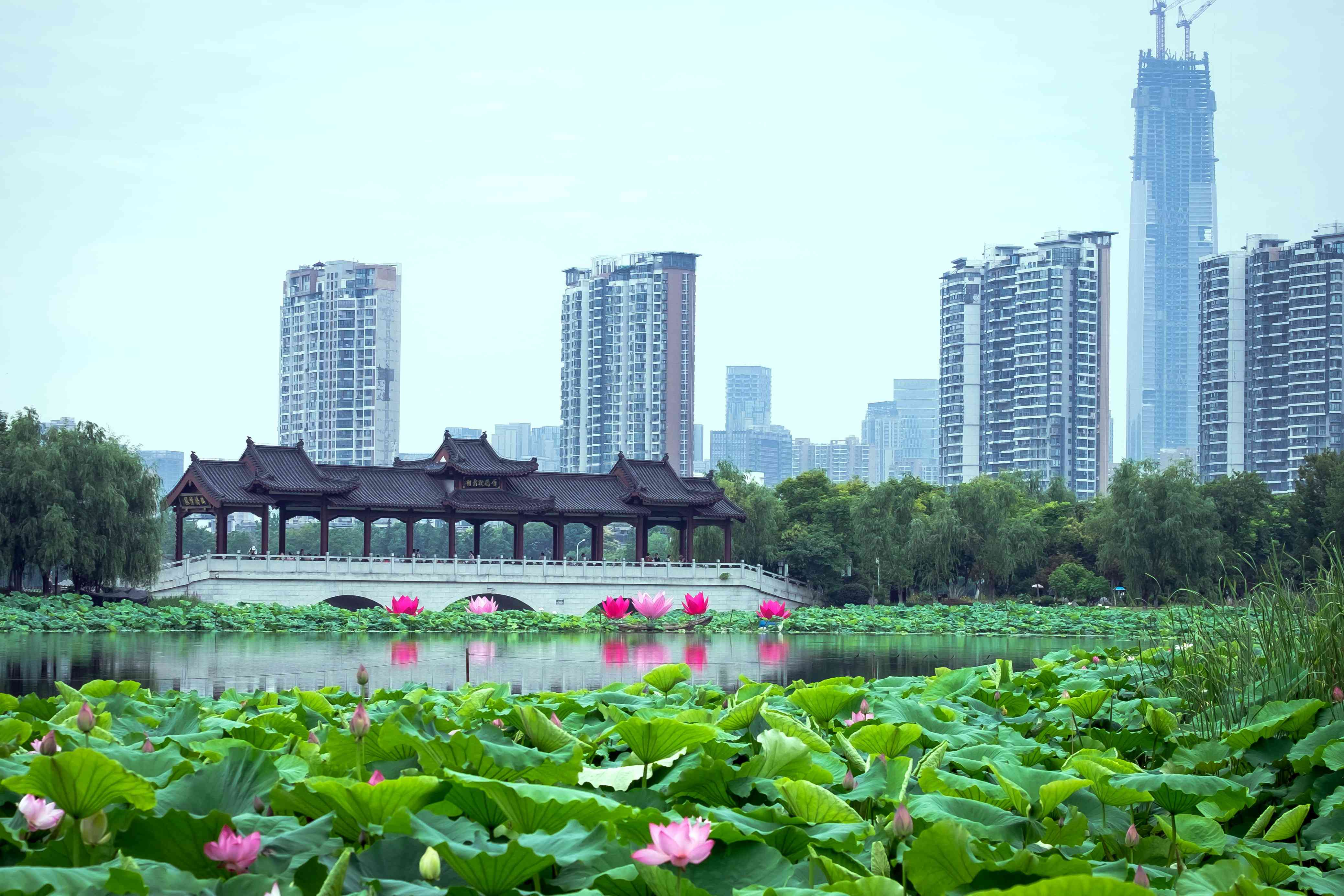 Pink and purple lotuses floating on a lake set against skyscrapers in Hubei