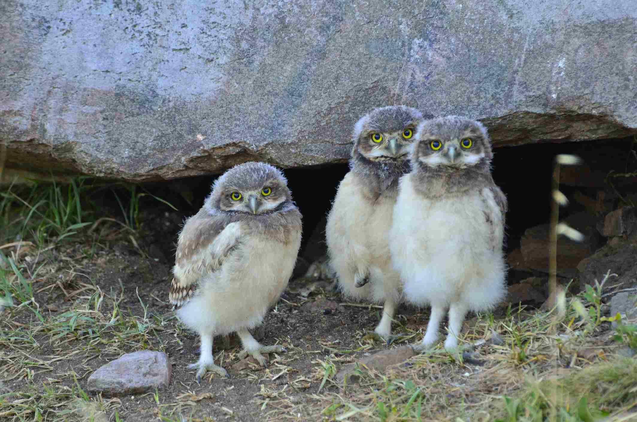 Trio of baby owls