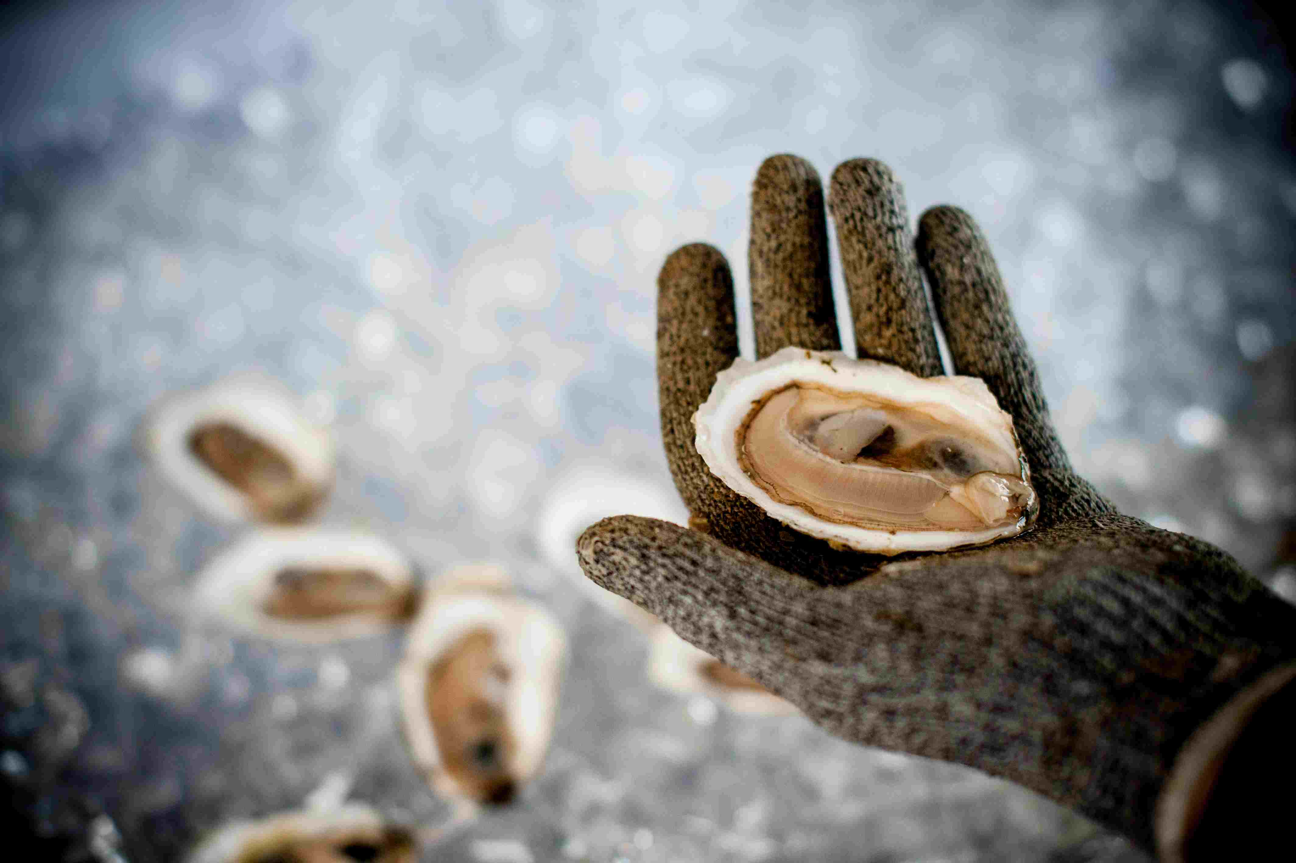 Hand shucking oysters, which are a species vulnerable to ocean acidification