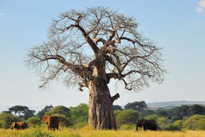 Fun Facts About Africa's Baobab Tree Elephants