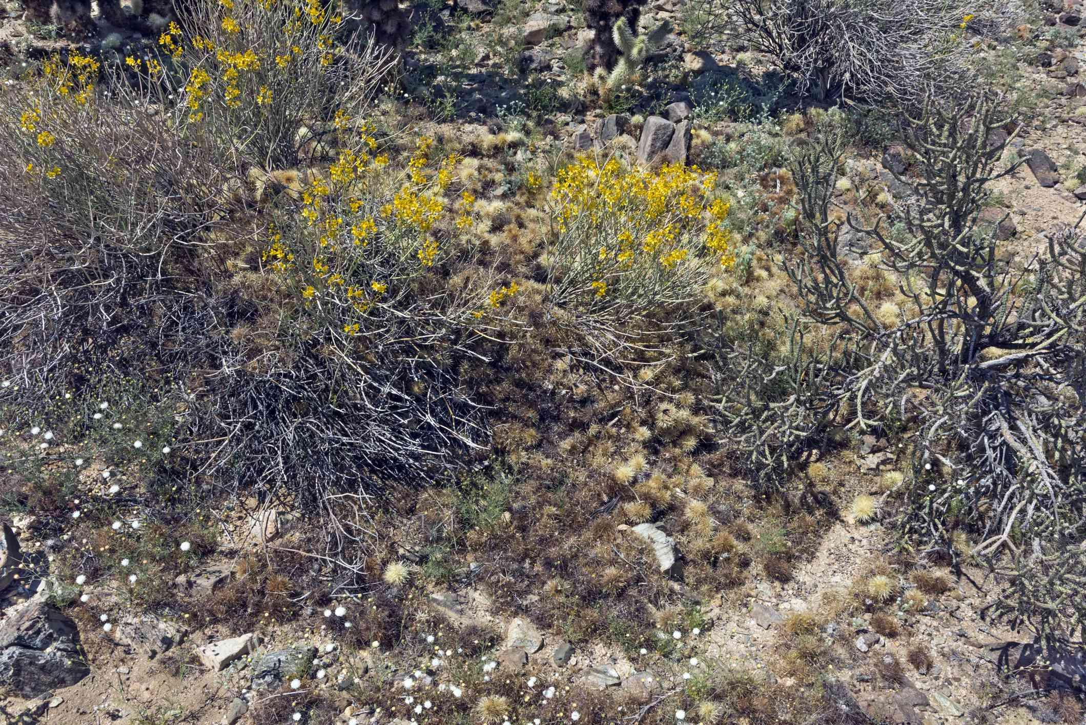 Packrat midden constructed of cholla cactus segments