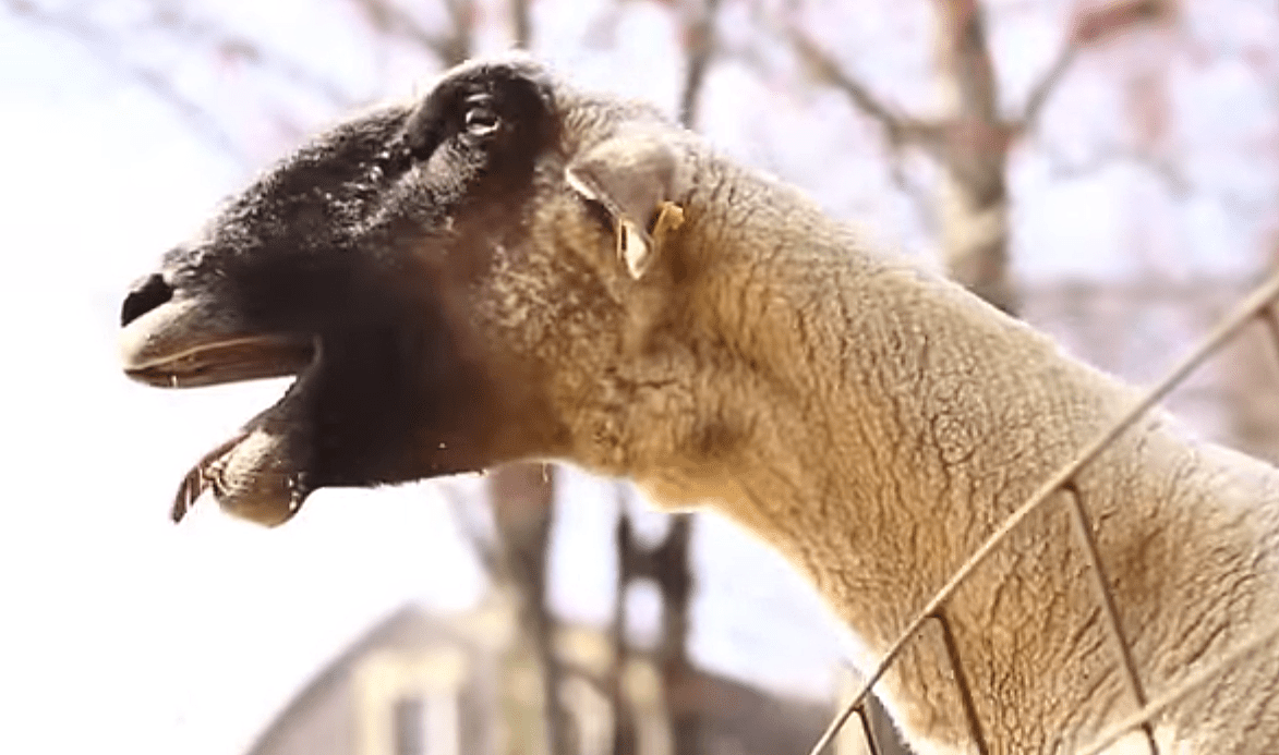 Screaming goat funny cartoon - YouTube  Mom Screaming Goats Funny