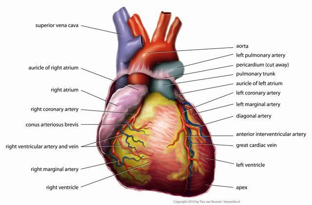Evolution of the human heart into four chambers the human heart evolved into a four chambered structure ccuart Gallery