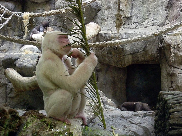 white gorilla in Barcelona zoo