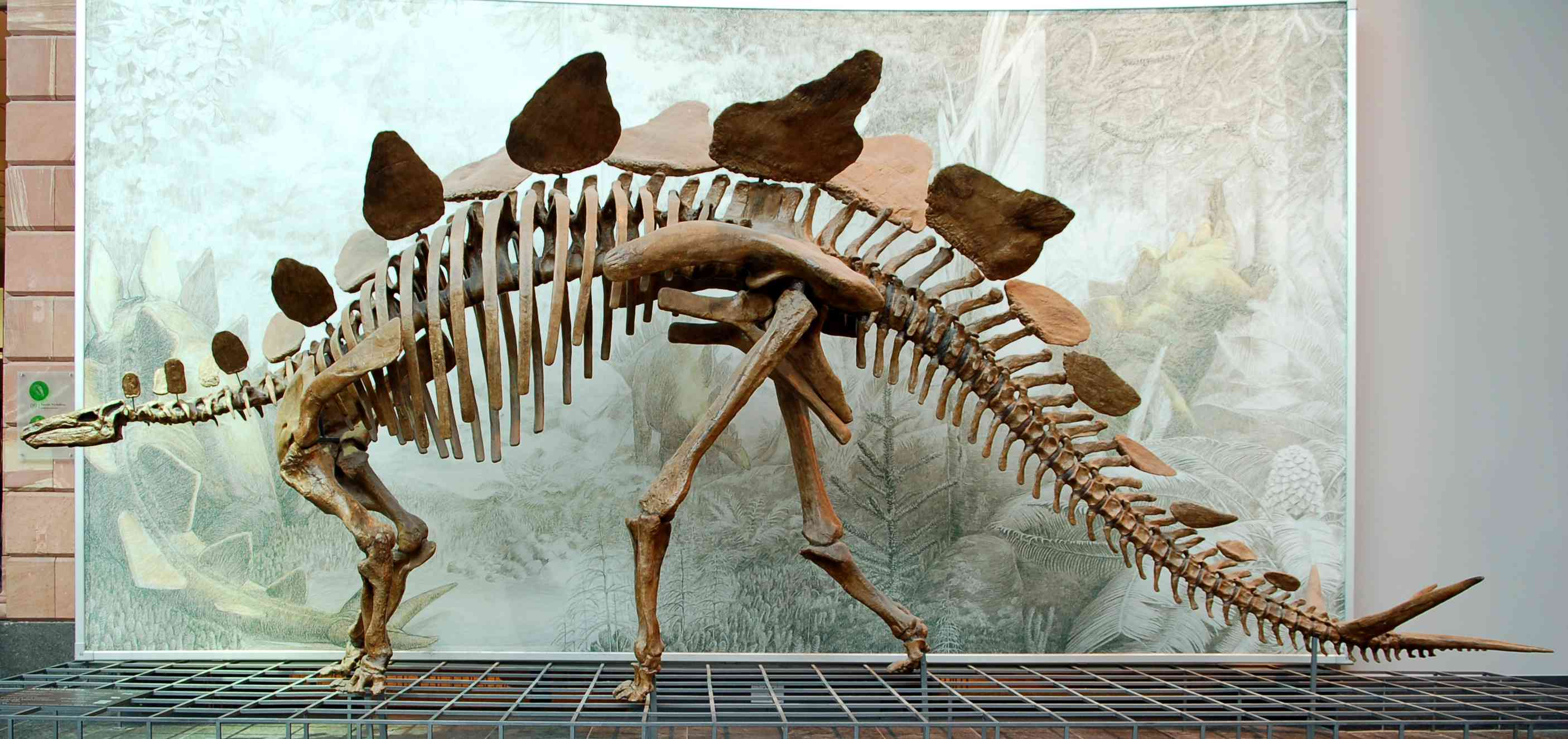 Cast of a Stegosaurus stenops skeleton