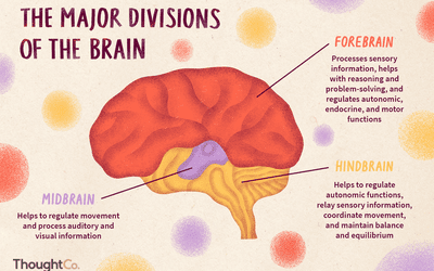 A Brain System That Appears To >> What Does The Brain S Cerebral Cortex Do