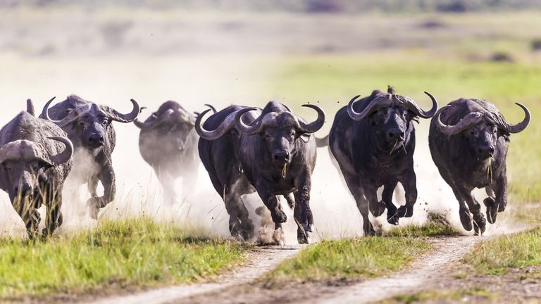 Herd of water buffalo running