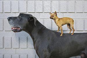 Small dog standing on a big dog