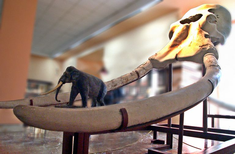 Display of Mammoth Tusk from Torralba, Museo Arqueológico Nacional de España