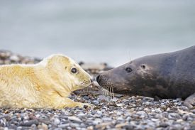 Gray seal and pup