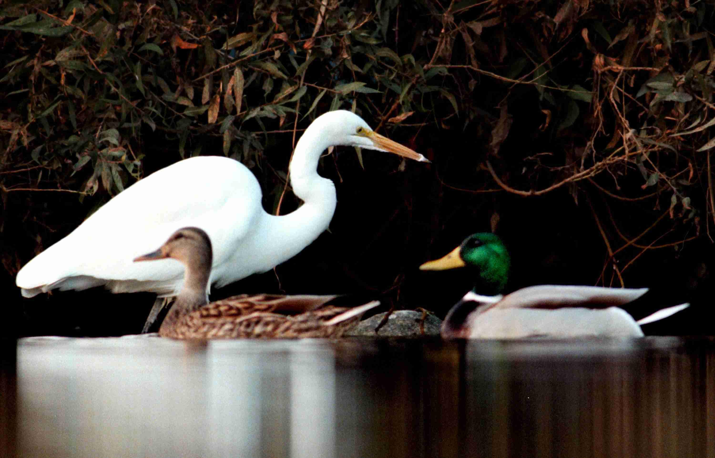 Mallard ducks with Great Heron, Los Angeles River