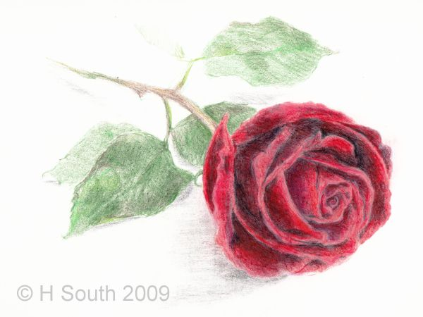 Rose drawing in colored pencil