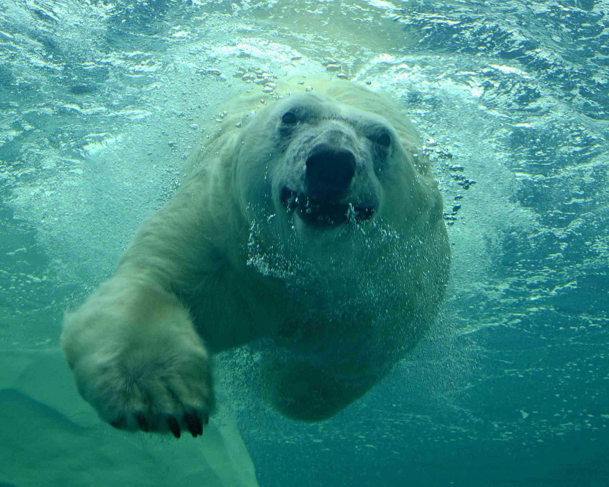 Polar bear swimming underwater looking at camera.