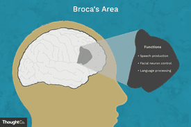 Broca's area in the brain. Functions: speech production, facial neuron control, language processing.