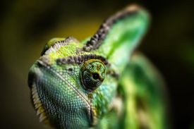 A picture of a chameleon, a type of craniate
