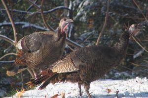 Wild Turkeys, Somers, Connecticut