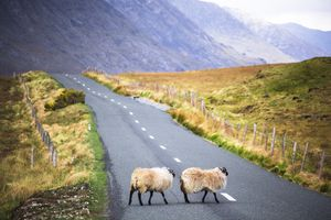 Ireland, Sheep on a country road in Connemara