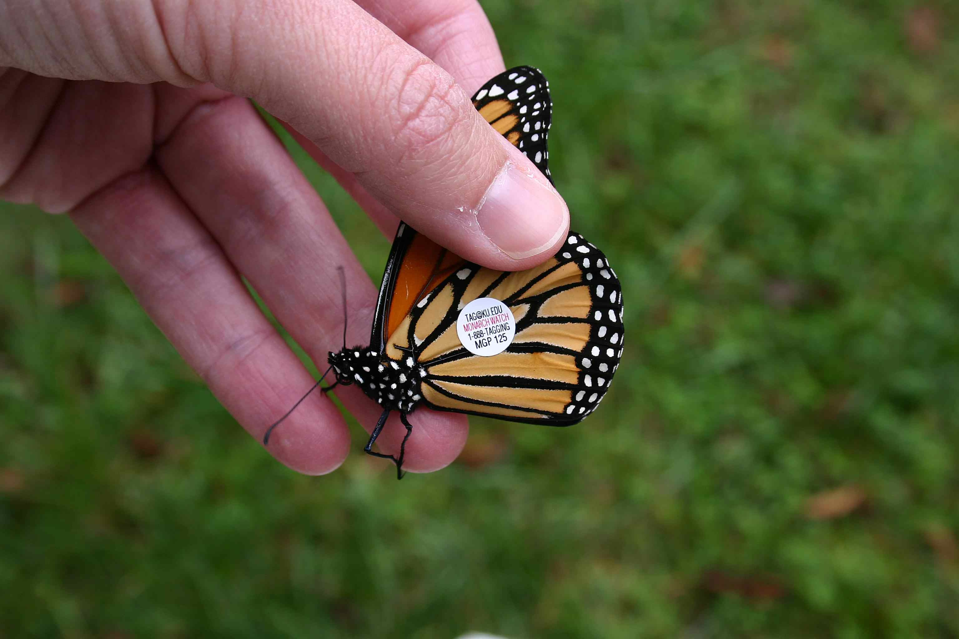 Volunteers tag monarchs so scientists can map their migration pathways.