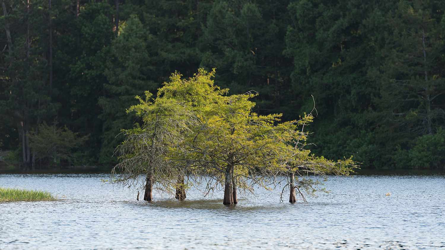 Submerged trees in Toledo Bend