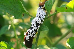 Braconid wasp cocoons on a hornworm caterpillar.