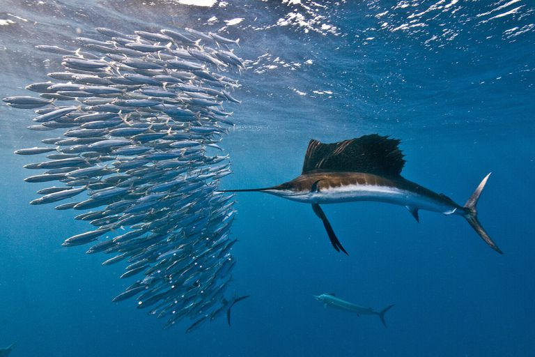 Two bony fish species: Atlantic sailfish attacking a sardine baitball, Isla Mujeres, Mexico