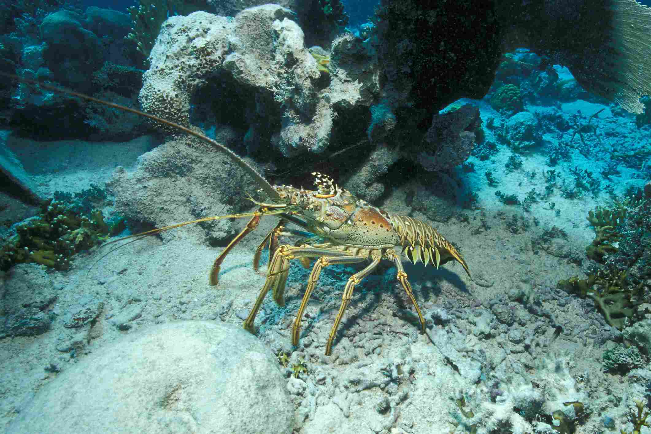 Spiny Lobster / Borut Furlan / WaterFrame / Getty Images