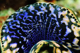 mantle of a giant clam