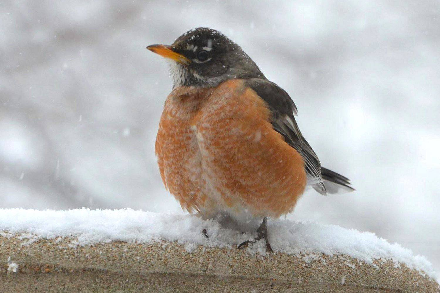 American Robin standing in the snow