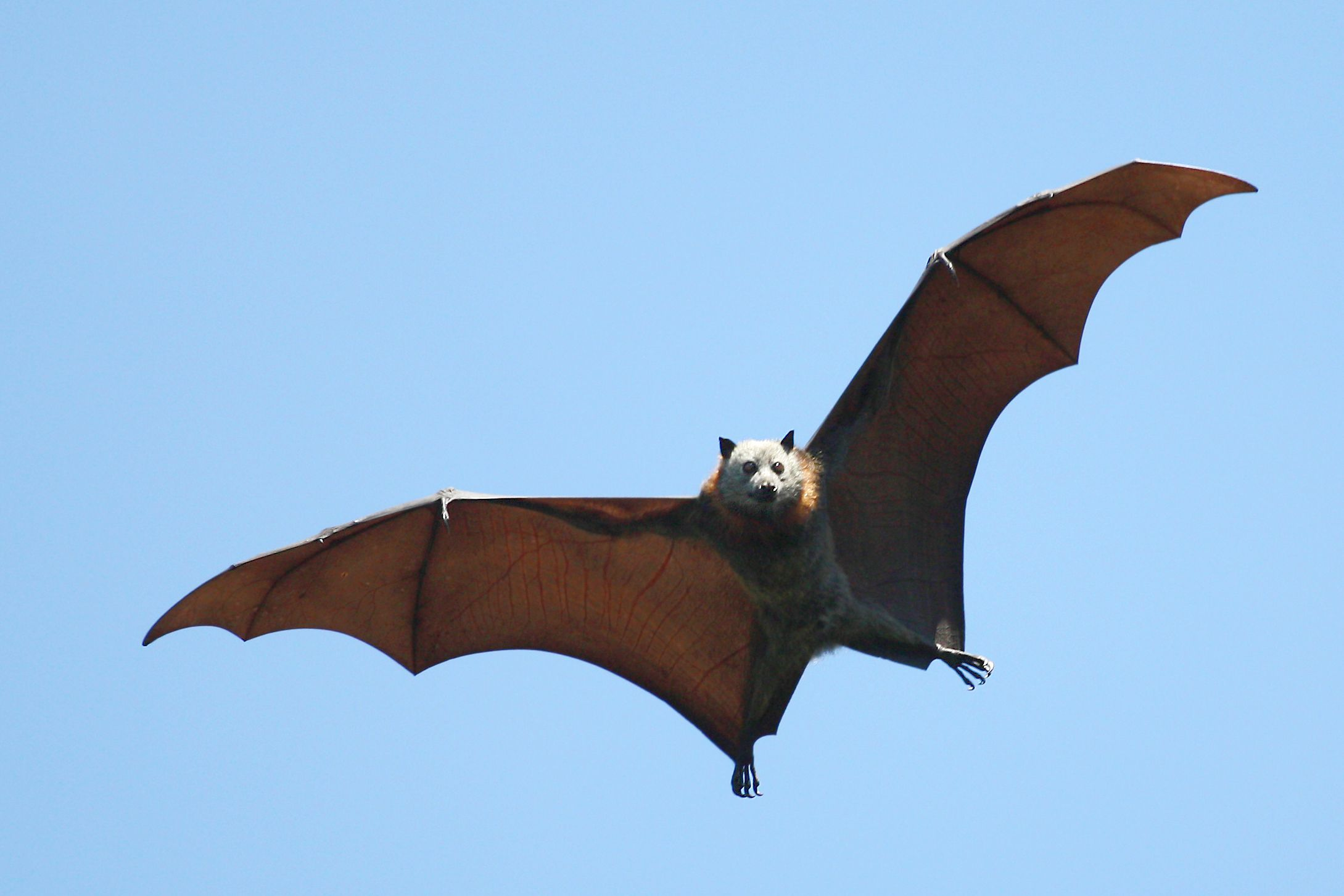 Bat flying against a blue sky looking at the camera.