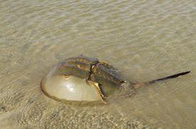 Horseshoe crab.