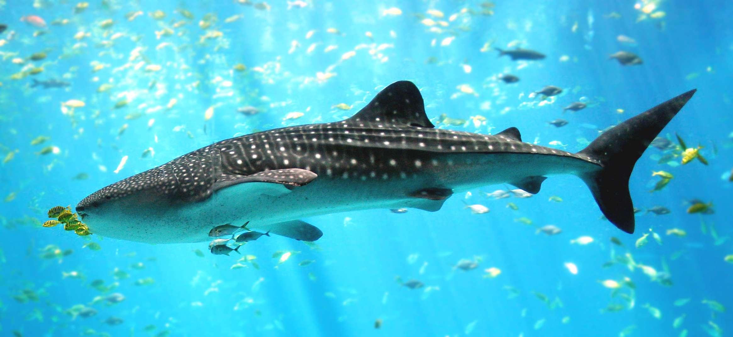 Whale shark swimming underwater.