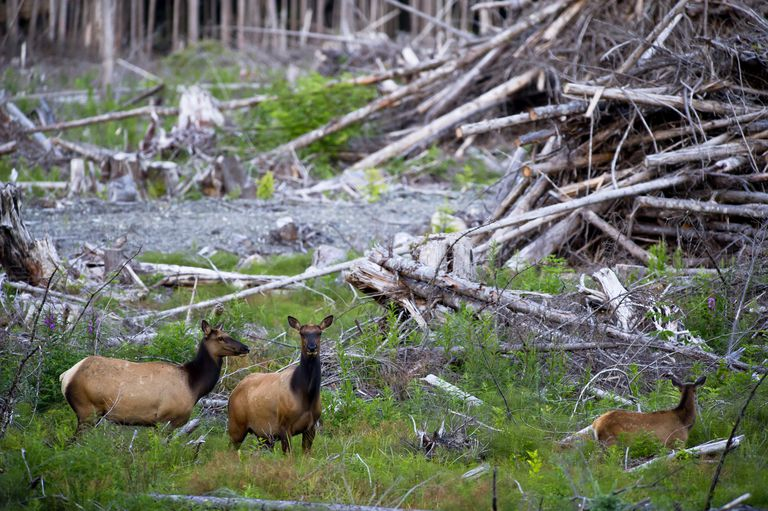 Roosevelt elk (Cervus elaphus roosevelti) in a cut forest. East coast, near Telegraph Cove, Vancouver Island, British Columbia, Canada, July.