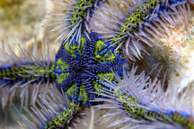Blue Deep Water Brittle Star, Ophiothrix spiculata, Anacapa Island, Channel Islands, Pacific, California, USA