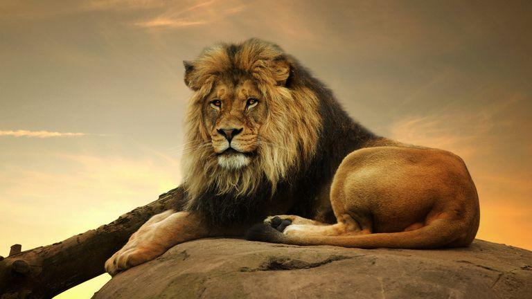 Portrait of a Lion on a Rock