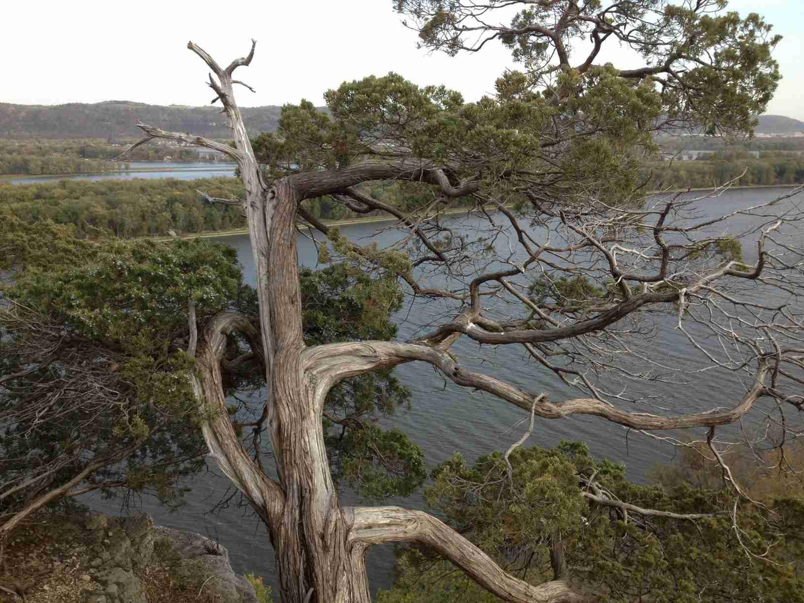 old eastern redcedar tree