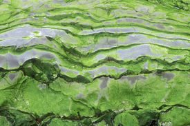 Green algae patterns on exposed rock at low tide