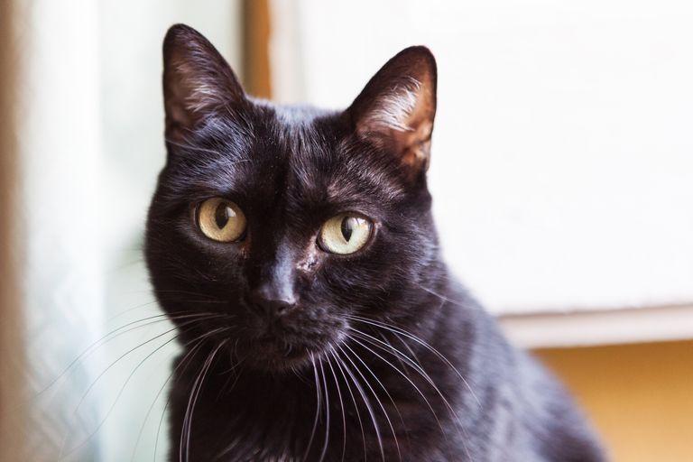Black Cat Superstition Folklore And Legends