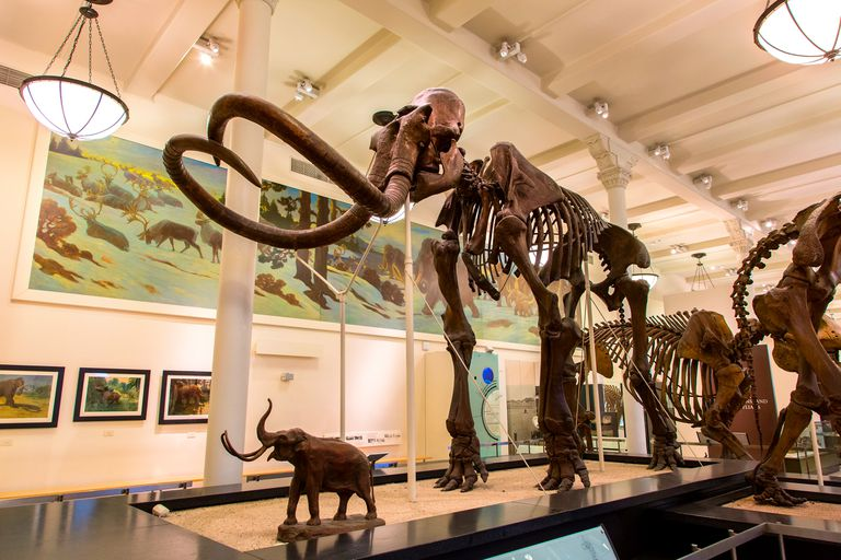 A skeleton of the Woolly Mammoth, a prehistoric mammal that lived in Iowa